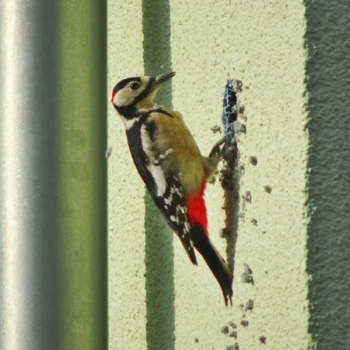 What Siding is Woodpecker Resistant